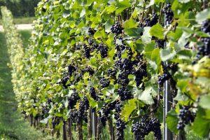 Enoturyści, czyli podróżnicy winiarscy