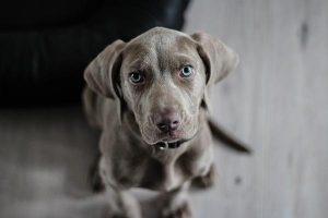 Psy powinny jeść hypoalergiczną karmę