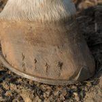 Biotyna na słabe kopyta koni